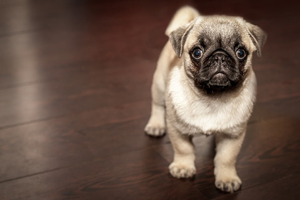 Необычные фотографии собак мопсов - самые классные 6