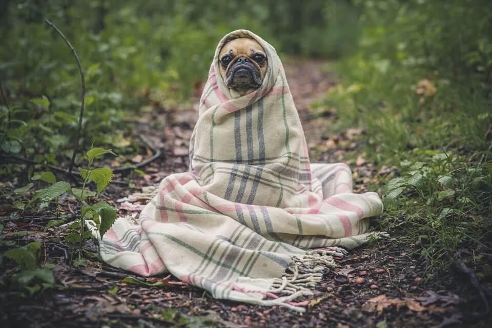 Необычные фотографии собак мопсов - самые классные 8