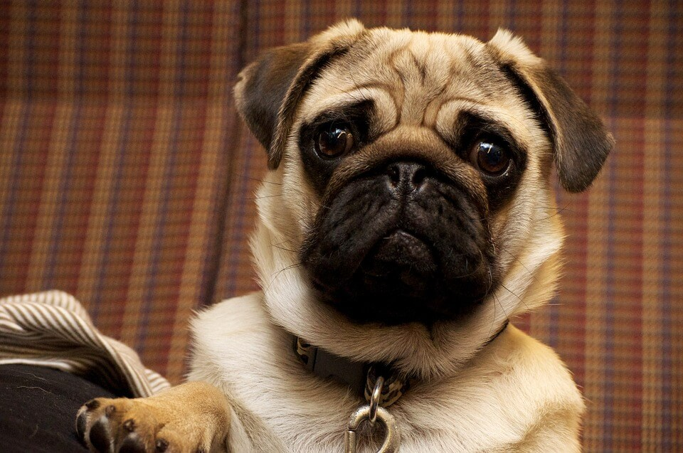 Необычные фотографии собак мопсов - самые классные 9