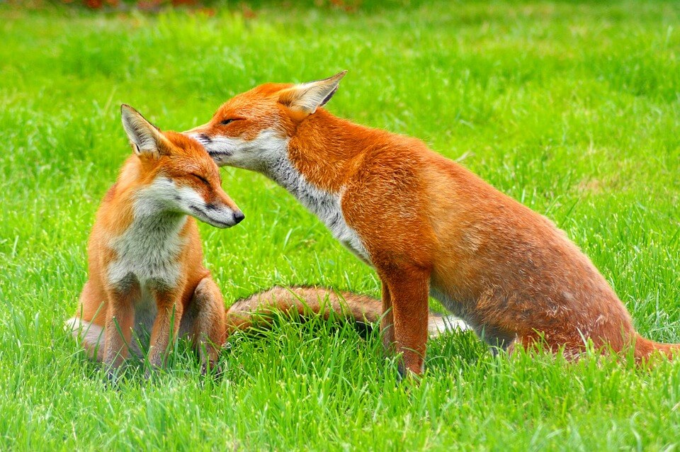 Смешные и веселые картинки лис или про лису - подборка 16