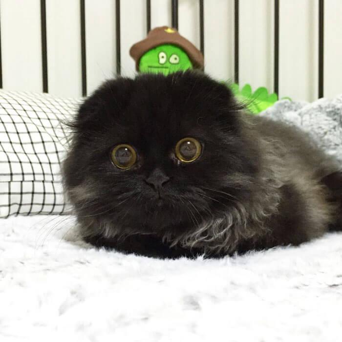 Кот Гимо с милыми глазами - необычные и красивые фото 16