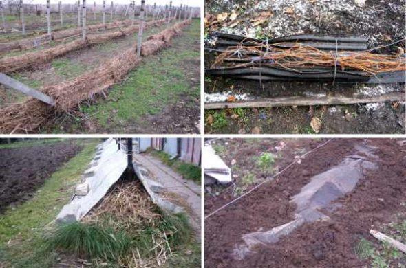 Как правильно укрыть виноград на зиму - полезные методы 2