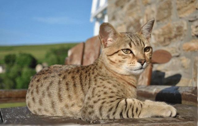 Египетская кошка - фотографии и картинки, подборка 1