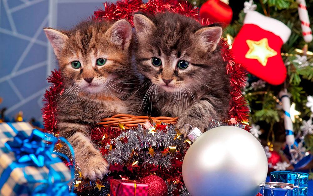 Кошки, котята, коты картинки в новый год - самые красивые 14