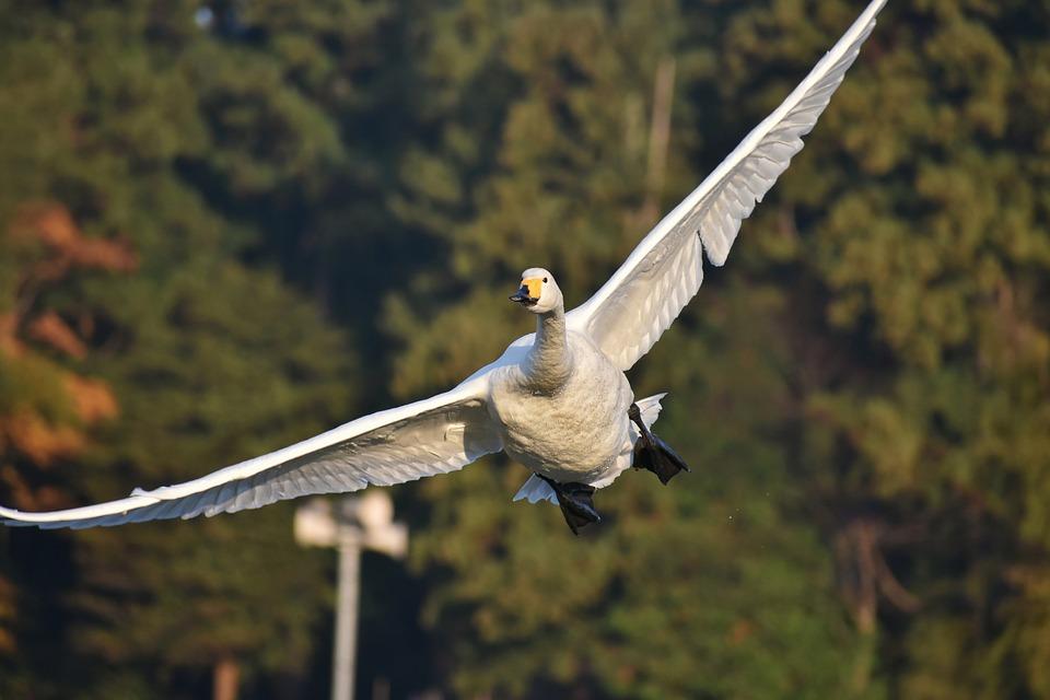 Необычные и красивые картинки Лебедей - 20 фото 1