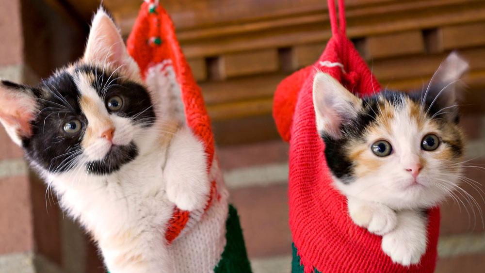 Кошки, котята, коты картинки в новый год - самые красивые 12