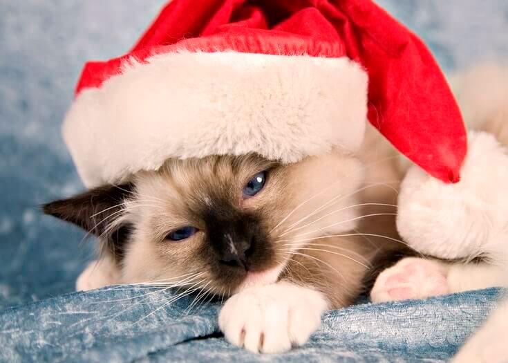 Кошки, котята, коты картинки в новый год - самые красивые 6