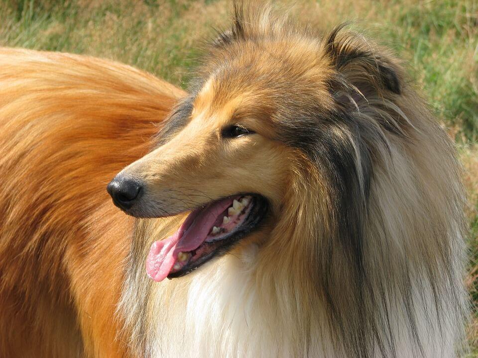 Порода собак Колли - красивые фотографии и картинки 14