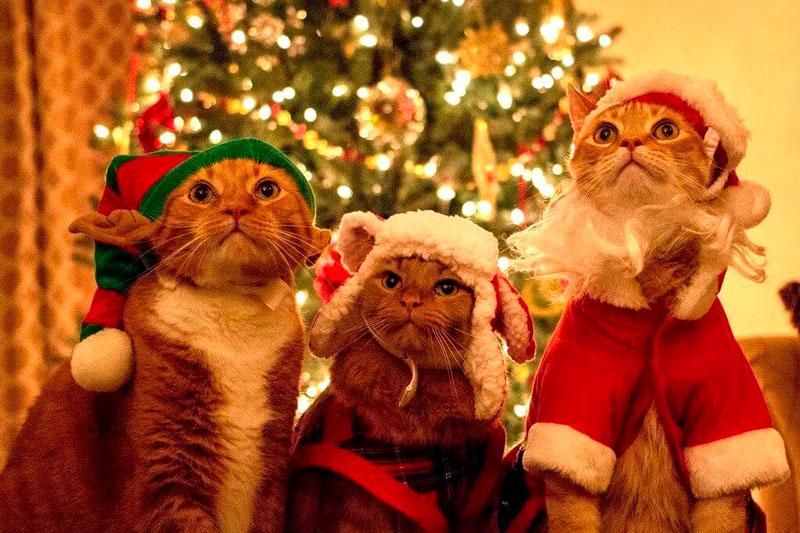 Кошки, котята, коты картинки в новый год - самые красивые 5