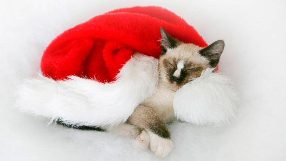 Кошки, котята, коты картинки в новый год - самые красивые 3