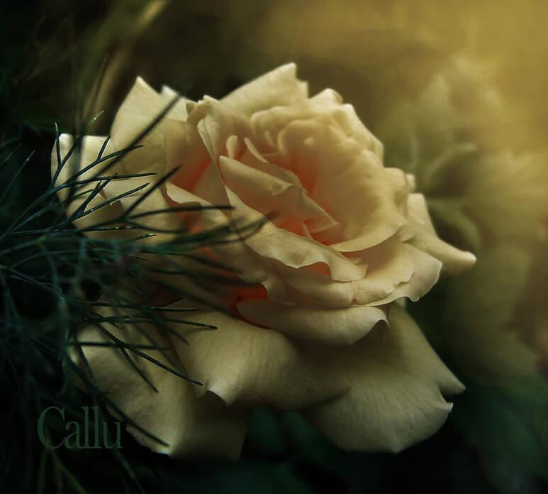 Удивительные картинки с розами, интересная сборка 27 фото 11
