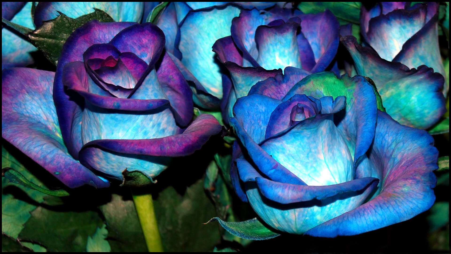 Удивительные картинки с розами, интересная сборка 27 фото 6