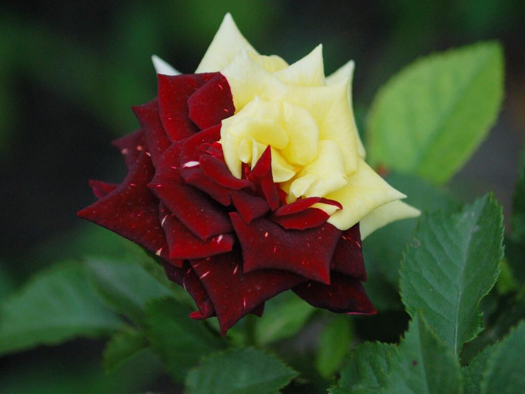 Удивительные картинки с розами, интересная сборка 27 фото 7