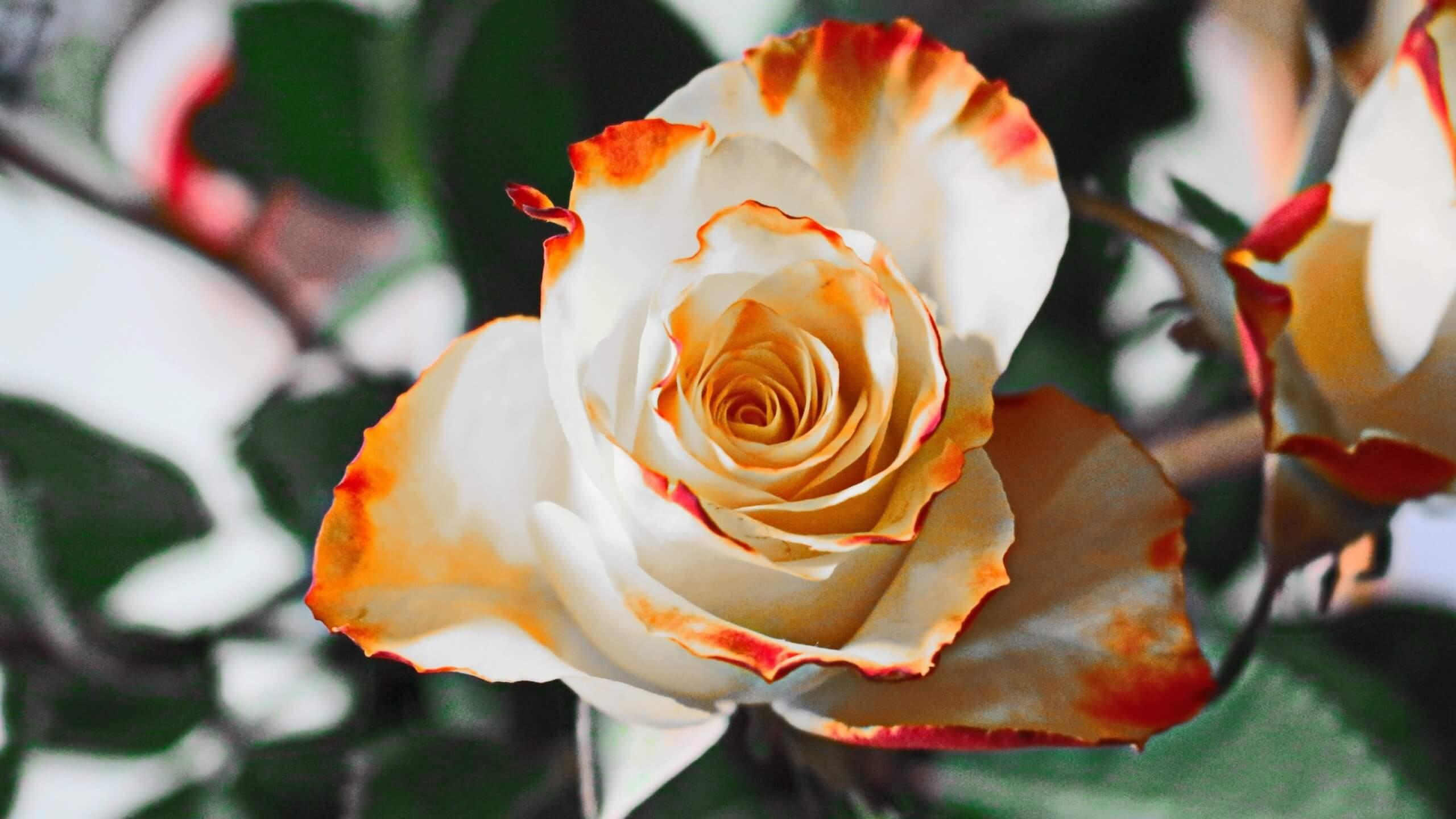 Удивительные картинки с розами, интересная сборка 27 фото 3