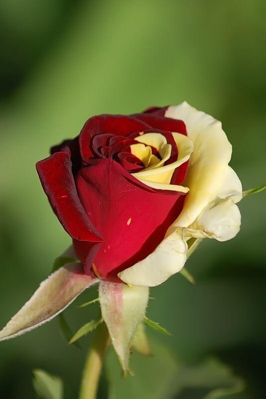Удивительные картинки с розами, интересная сборка 27 фото 10