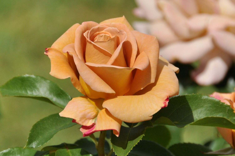 Удивительные картинки с розами, интересная сборка 27 фото 19