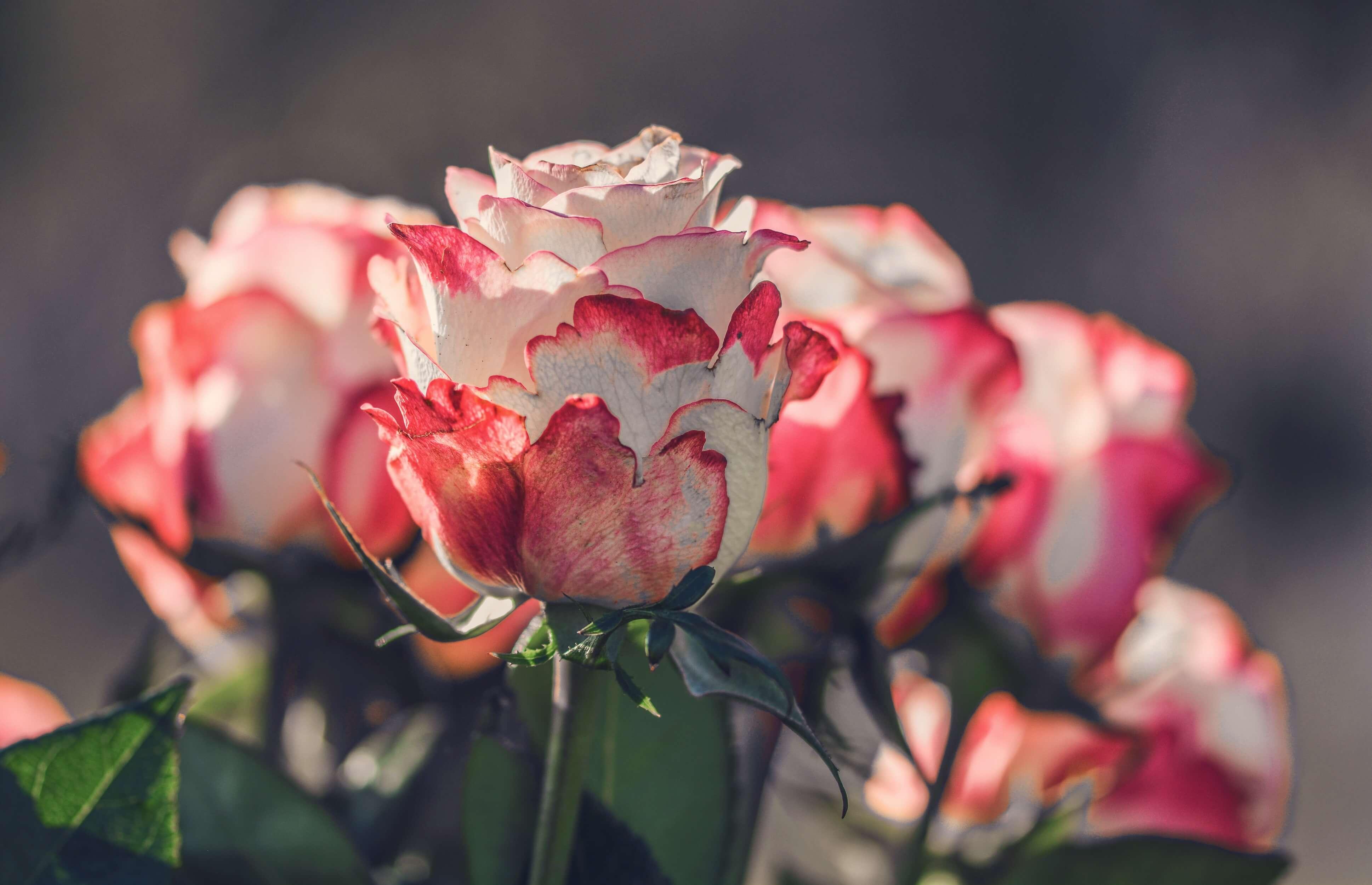 Удивительные картинки с розами, интересная сборка 27 фото 25