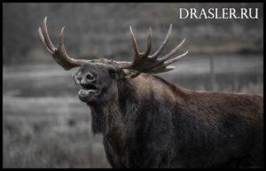 Охота на лося загоном зимой - основные правила, советы 2