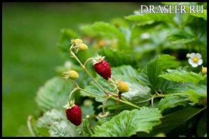 Как правильно высаживать землянику в саду - лучшие способы и советы 2