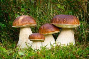 Белый гриб, как отличить от ложного белого гриба - описание, фото 1