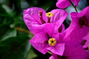 Фотографии цветка Бугенвиллия - красивая подборка 15