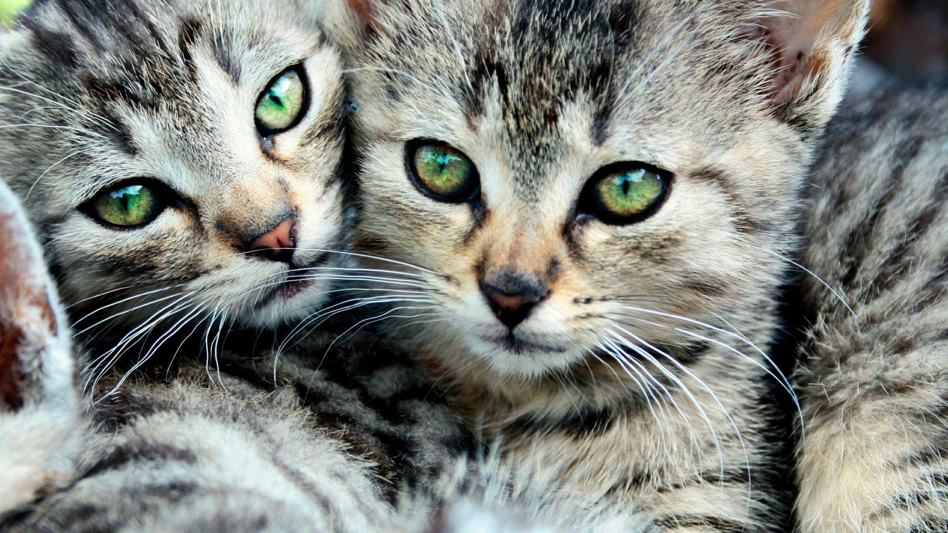 обои кошки картинки котята для рабочего стола клапанам кровь идет