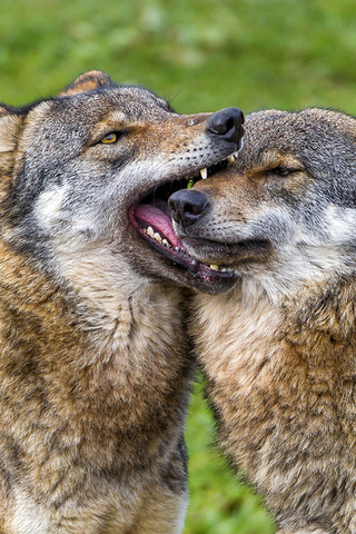 Прикольные и красивые картинки Волков на телефон - скачать бесплатно 12