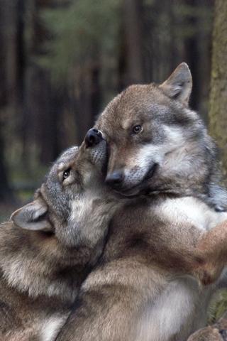 Прикольные и красивые картинки Волков на телефон - скачать бесплатно 13