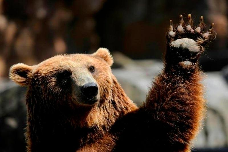 хочется фото медведя с поднятой лапой проводили очередные