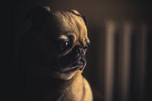 Необычные фотографии собак мопсов - самые классные 3