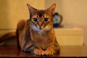 Египетская кошка - фотографии и картинки, подборка 14