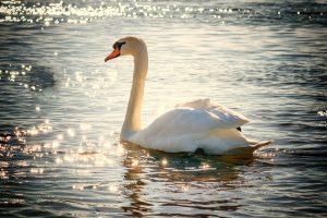Необычные и красивые картинки Лебедей - 20 фото 7