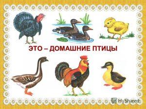 Дикие и домашние птицы картинки для детей   подборка (11)