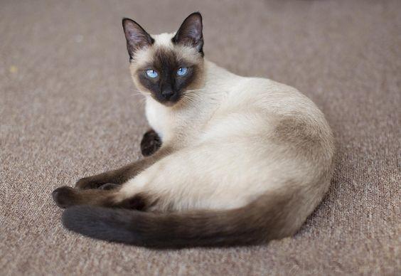 Породы кошек с описанием, названием и фотографиями подборка картинок (10)
