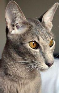 Породы кошек с описанием, названием и фотографиями   подборка картинок (12)