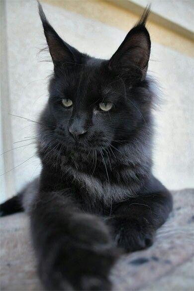 Породы кошек с описанием, названием и фотографиями подборка картинок (13)