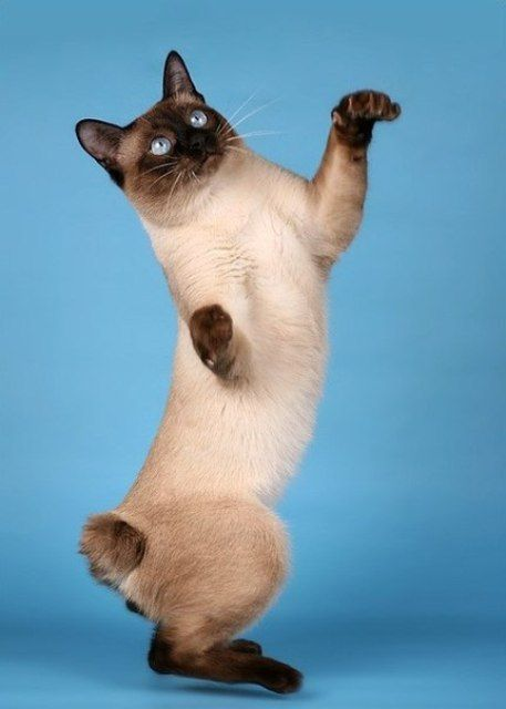 Породы кошек с описанием, названием и фотографиями подборка картинок (16)