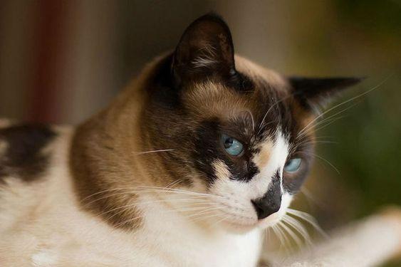 Породы кошек с описанием, названием и фотографиями подборка картинок (18)