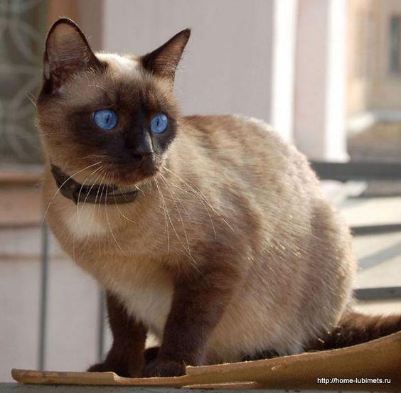 Породы кошек с описанием, названием и фотографиями подборка картинок (19)