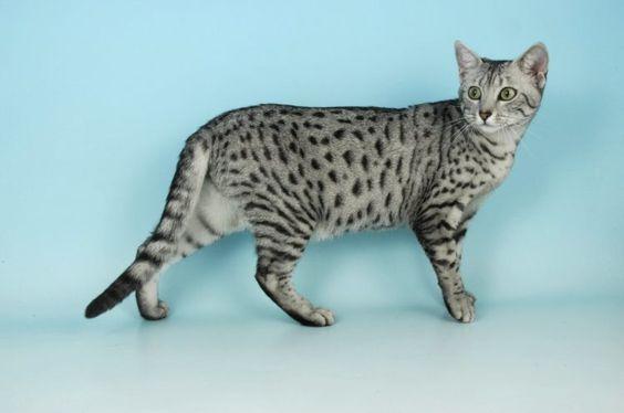 Породы кошек с описанием, названием и фотографиями подборка картинок (22)