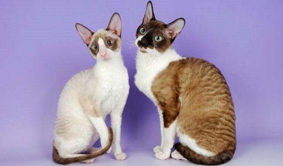 Породы кошек с описанием, названием и фотографиями подборка картинок (23)