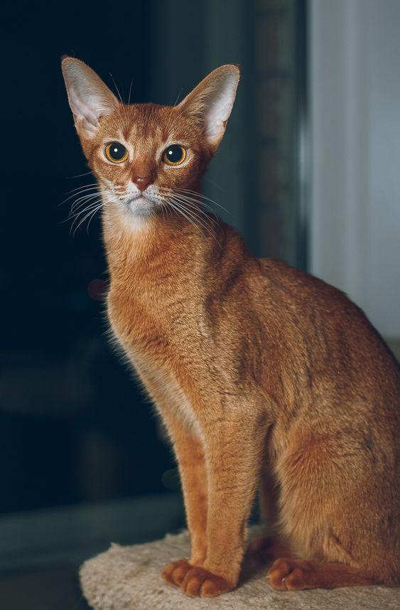 Породы кошек с описанием, названием и фотографиями подборка картинок (4)