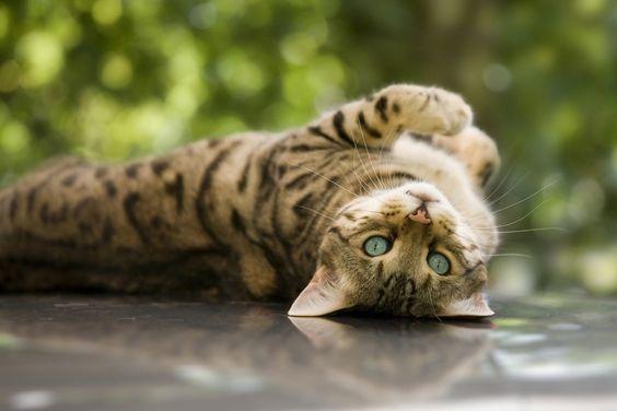 Породы кошек с описанием, названием и фотографиями подборка картинок (6)