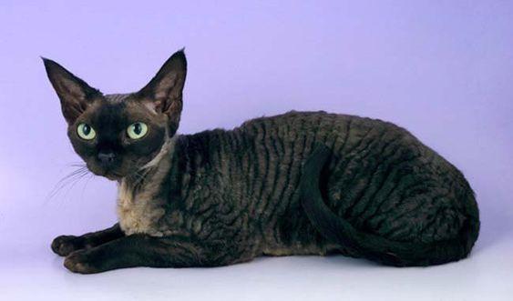 Породы кошек с описанием, названием и фотографиями подборка картинок (7)