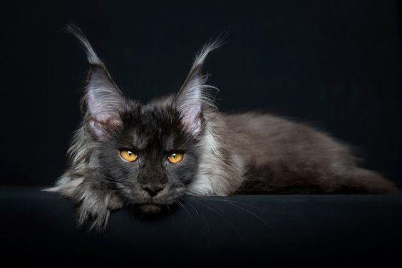 Породы кошек с описанием, названием и фотографиями подборка картинок (8)