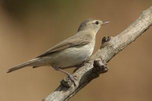 Птицы тульской области   фото с названиями и описанием (13)