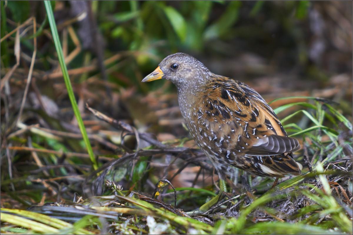 черных чулках названия птиц нижегор области с фото встретить информацию, что