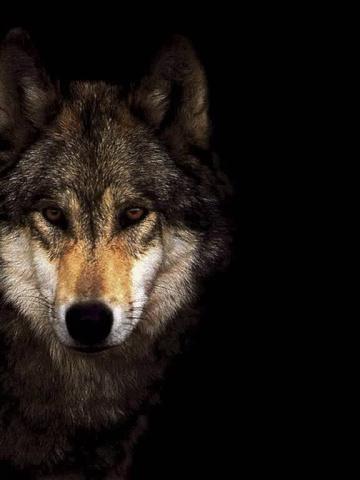 Скачать на телефон картинки волки   лучшие заставки (10)