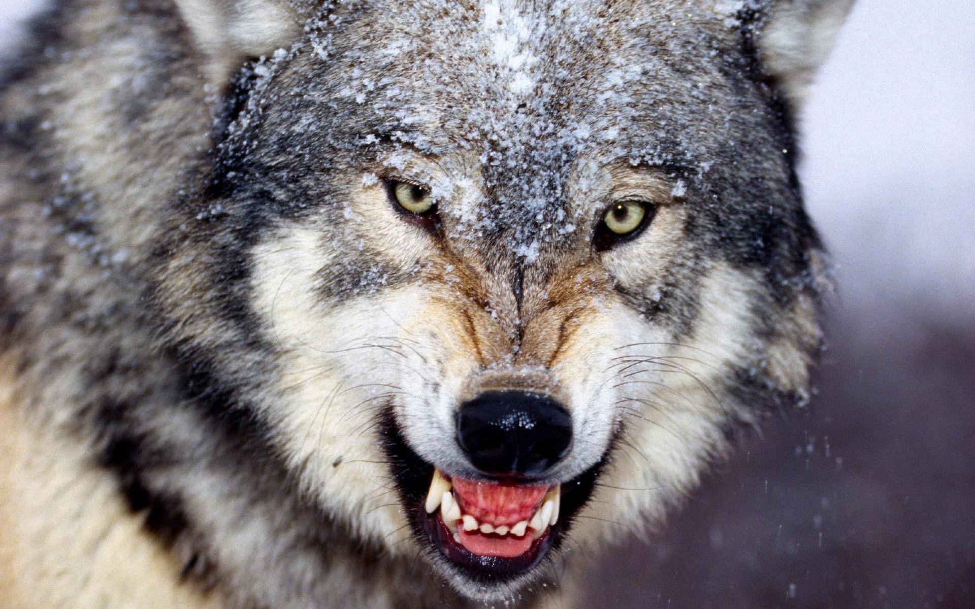 Скачать на телефон картинки волки   лучшие заставки (11)