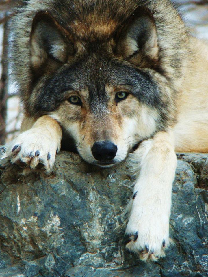 Скачать на телефон картинки волки   лучшие заставки (13)